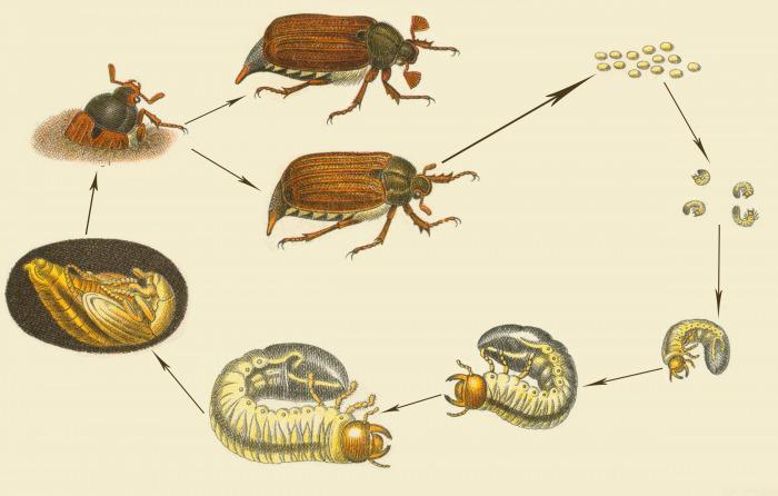 Как рождаются жуки